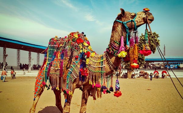 Pushkar Special – Camel Fair